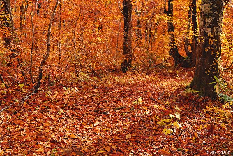 絶景探しの旅 - 1134 紅葉のクマゲラの森 (秋田県 北秋田市 森吉)