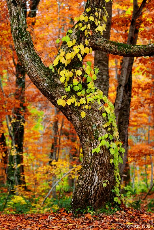 絶景探しの旅 - 1131 秋の森の風景 (秋田県 北秋田市 森吉)