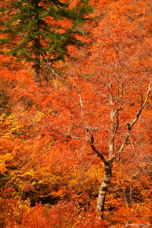 絶景探しの旅 - 絶景写真 1141 燃える紅葉 (秋田県 北秋田市 森吉)