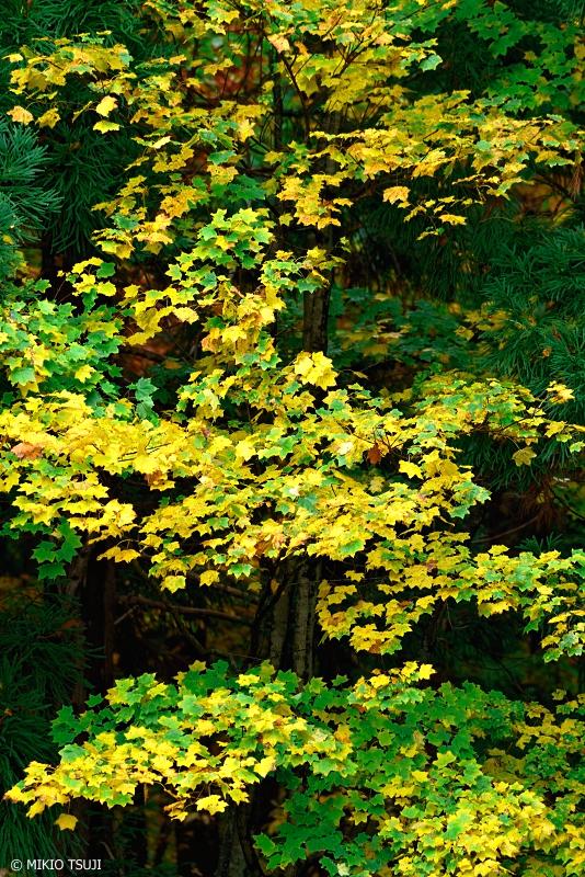 絶景探しの旅 - 絶景写真 - 1143 黄葉する楓 (秋田県 北秋田市)