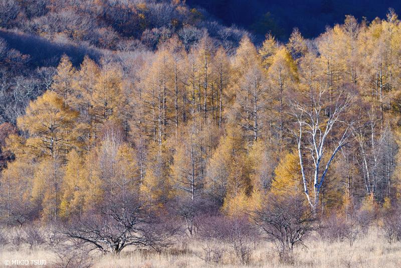 絶景探しの旅 - 絶景写真 1152 黄金色に囲まれる小田代ヶ原の貴婦人 (栃木県 日光市)