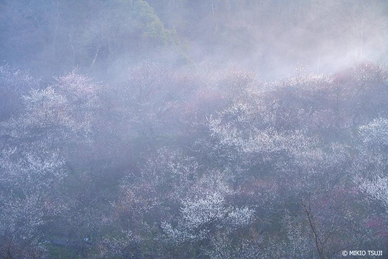 絶景探しの旅 - 絶景Photo No.1243 朝靄の梅林(木下沢梅林 東京都 八王子市)