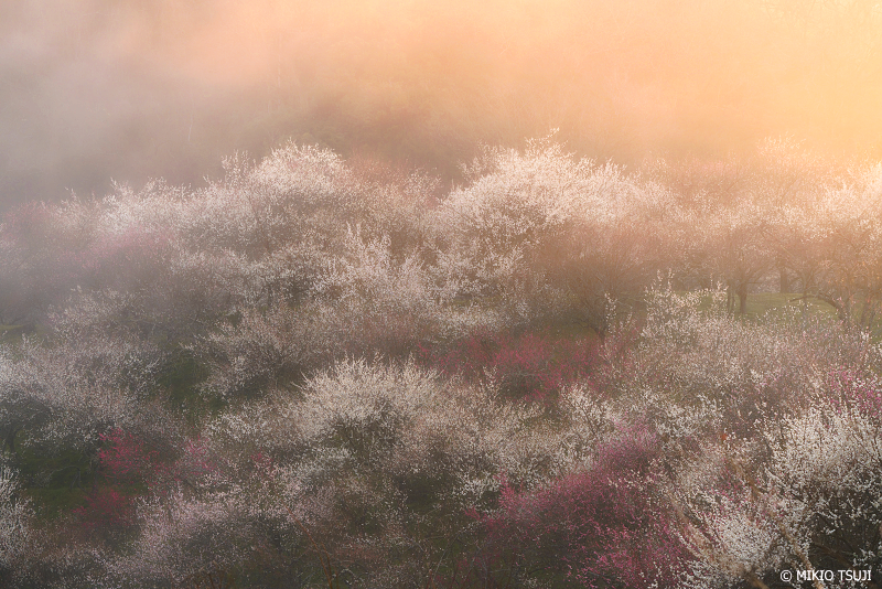 絶景探しの旅 - 絶景Photo No.1244 燃える朝靄の木下沢梅林 (東京都 八王子市)
