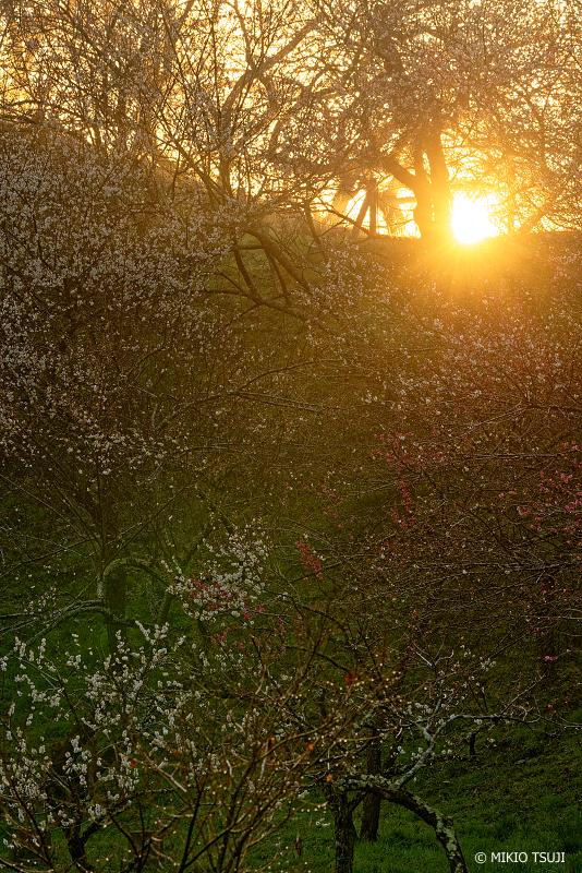 絶景探しの旅 - 絶景Photo No.1245 梅林に差し込む朝陽 (木下沢梅林/東京都 八王子市)
