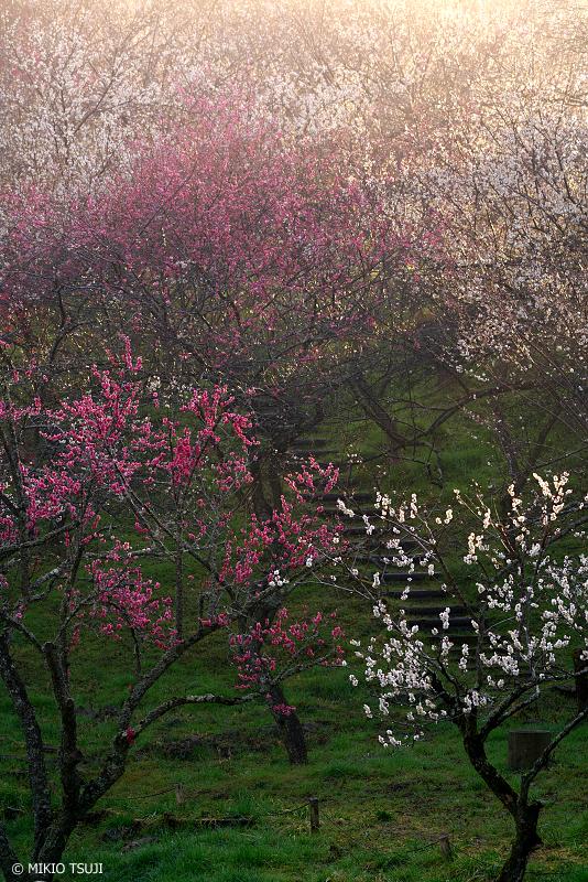 絶景探しの旅 - 絶景Photo No.1247 輝く木下沢梅林の朝 (東京都 八王子市)