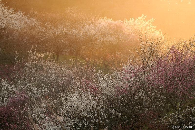 絶景探しの旅 - 絶景Photo No.1248 朝の光を受ける梅林 (木下沢梅林/東京都 八王子市)